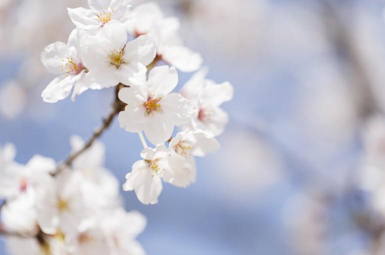 「日本さくら名所100選」の大村公園、桜が満開に。